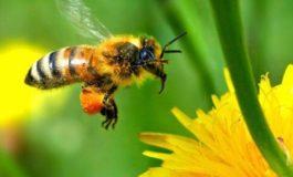Le api gaviesi fanno sciopero, quest'anno niente miele