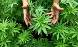 Coltivatore di marijuana arrestato insieme al suo complice