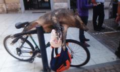 Cinghiale in bicicletta a Tortona