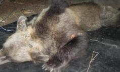 È stata abbattuta l'orsa KJ2: inutile crudeltà