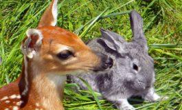 Animalisti e movimento anticaccia contro l'abbattimento di mille caprioli in provincia di Alessandria
