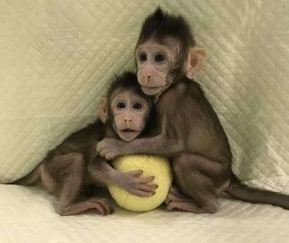 Prime scimmie clonate con la tecnica della pecora Dolly: aiuteranno a ridurre i test sui primati