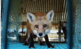 Anche la Norvegia vieta gli allevamenti di animali da pelliccia