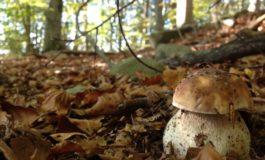 Si perde nel bosco andando per funghi