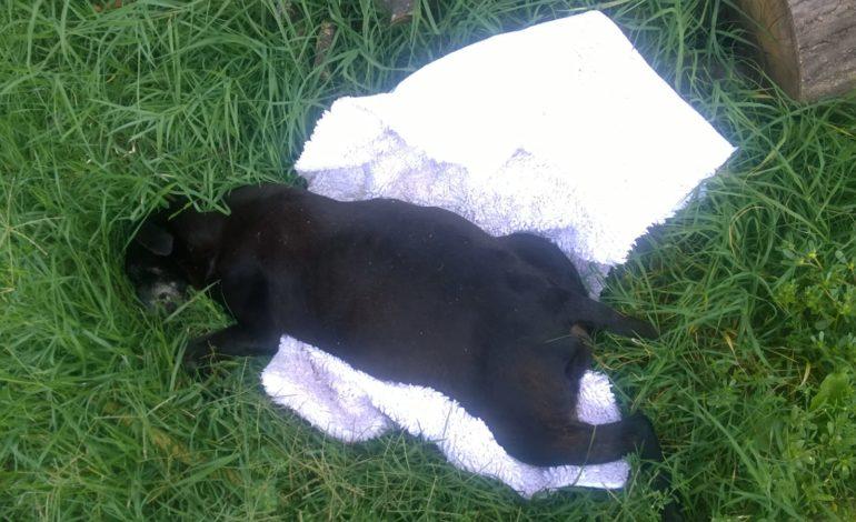 I proprietari lasciano morire agonizzante la propria cagnolina senza portarla dal veterinario