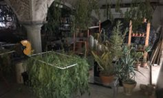 Coltivava in casa 15 piante di marijuana: arrestato