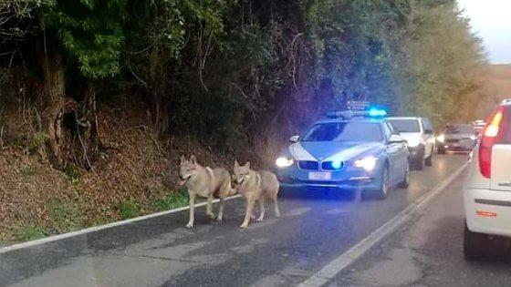 """Polstrada """"scorta"""" due lupi cecoslovacchi in fuga per il maltempo"""