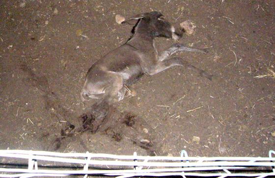 Strage di asini in una cascina di Bosio