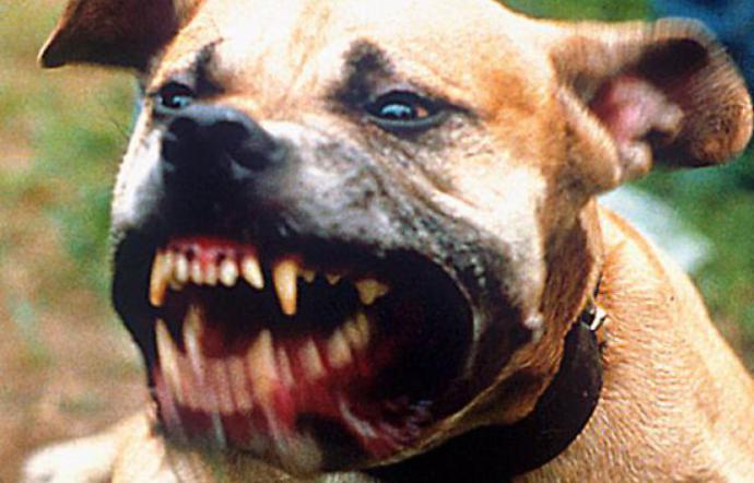Pitt bull libero e senza museruola sbrana una piccola jack russell terrier uccidendola
