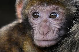Clonate in Cina scimmie Ogm