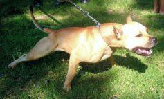 Ancora cani aggressivi in provincia di Alessandria: due pitbull attaccano alunni e genitori nel cortile della scuola elementare di Carpeneto