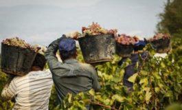 Caporalato nelle vigne: banda di finti bulgari sgominata nell'astigiano