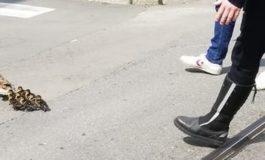 Milano: tra lo stupore generale, mamma anatra e i suoi anatroccoli scortati dalla Municipale fino al Naviglio