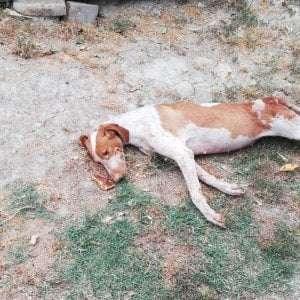 Alcuni cacciatori uccidono anche senza sparare: abbandonata perché sorda una femmina di Bracco si lascia morire per il dolore
