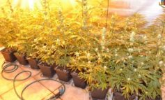 In tre diversi appartamenti aveva creato una vera e propria piantagione di marijuana e canapa: in manette imprenditore del casalese