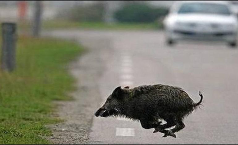 Incidenti stradali dovuti ad animali selvatici: in Piemonte nel primo semestre del 2019 lo stesso numero di tutto lo scorso anno