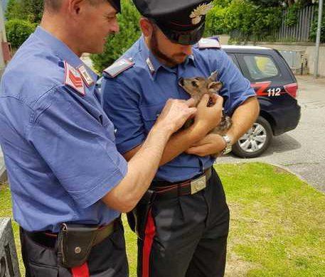 Carabinieri salvano cucciolo di capriolo