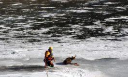 I Vigili del Fuoco salvano un camoscio ferito