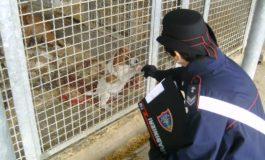 Prescriveva farmaci ai cani senza essere veterinaria: denunciata allevatrice di Cossano Belbo