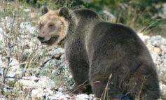 Orso catturato e rinchiuso in Val Rendena, riesce a scappare
