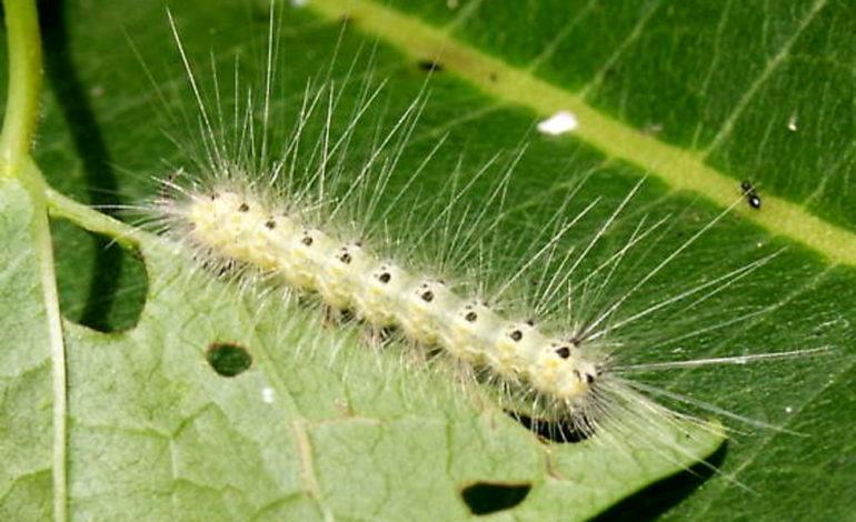 Sarebbero lepidotteri di origine americana e non larve di processionaria gli insetti comparsi sugli alberi in zona D3 ad Alessandria