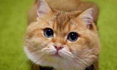 Coronavirus, gatto positivo in Belgio