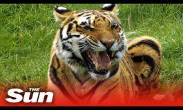 Così il Covid-19 ha infettato Nadia, una tigre dello zoo del Bronx