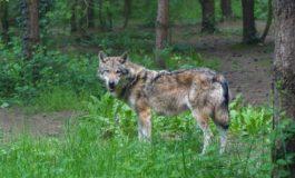 Trovato lupo in trappola nella Val Curone, salvato dalle guardie faunistiche