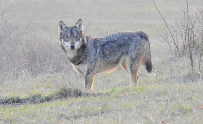 Da Lav Oltrepò Pavese: lupo avvistato alle porte di Broni, niente paura