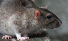 Epatite E, il nuovo coronavirus: da Hong Kong il salto di specie dal topo all'uomo attraverso l'acqua