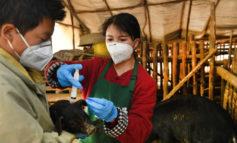 Scoperto nei maiali in Cina un nuovo virus capace di causare una pandemia