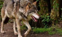 Protesta degli allevatori al convegno sul rischio lupo a Varallo Sesia