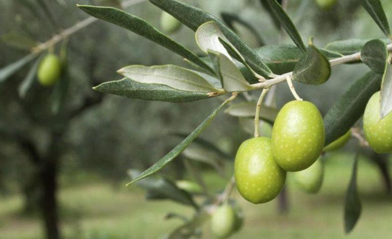 Da Coldiretti Alessandria: nella provincia a vocazione cerealicola per eccellenza cresce la sfida olivicola