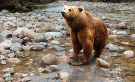 """Avvistato nel biellese l'orso """"ossolano"""""""
