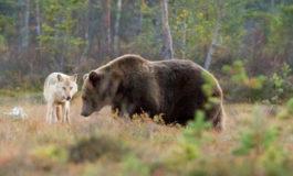 Lupi e orsi, tra Piemonte e Trentino il problema ora è uno solo: la convivenza