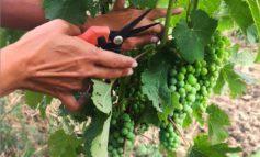 Da Coldiretti Alessandria: la Regione apra un dialogo con il Mipaaf per beneficiare della vendemmia verde selettiva