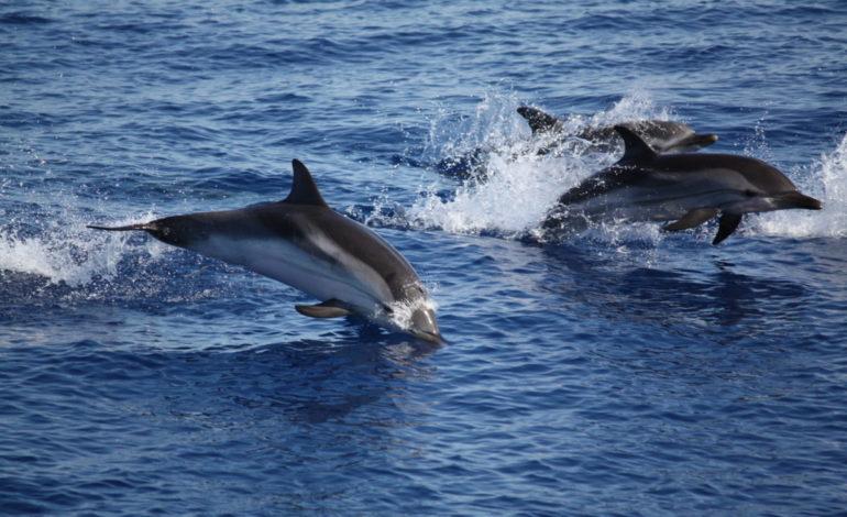 """Il Ponente ligure """"terra"""" ideale per i delfini e i loro cuccioli"""