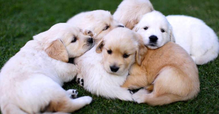 Scoperto traffico illegale di cuccioli di cane