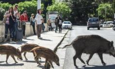 Da Regione Piemonte: sull'emergenza cinghiali l'assessore Protopapa porta all'attenzione della ministra il problema di sicurezza pubblica