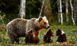 Da Leal Milano: l'orsa JJ4 e i suoi cuccioli non hanno pace in quanto il Tar ha respinto la richiesta di sospensiva dell'ordine di cattura