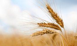 Da Coldiretti Alessandria: causa Covid schizza il prezzo del grano, +16% sconvolgendo mercato prodotti agricoli