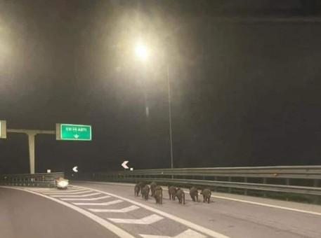 Cinghiali in autostrada, la foto fa il giro del web