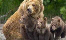 Da Leal Milano: l'orsa JJ4 rimane libera grazie al Consiglio di Stato che ha accolto il ricorso di Leal