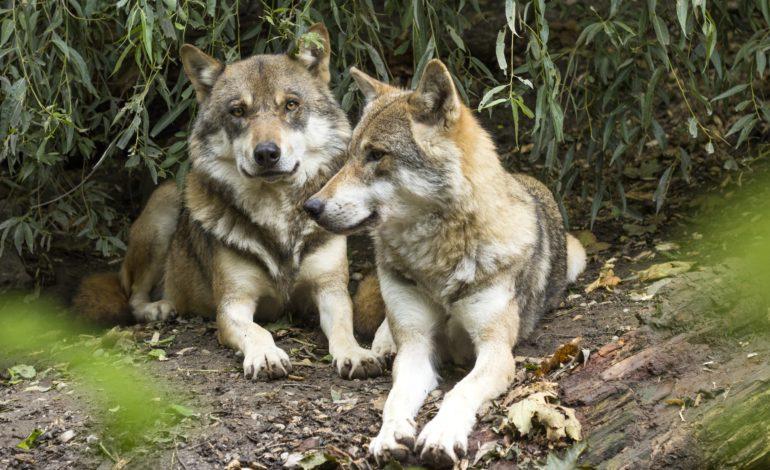 Dalla Lega Nazionale Difesa del Cane: il presidente del parco Alpi Cozie invece di difendere i lupi li vuole morti