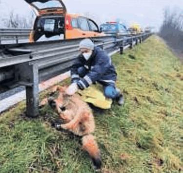 Trovato un lupo senza vita investito da un'auto nella notte sulla Asti-Alba