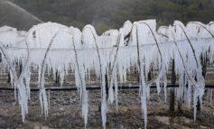 Maltempo: a rischio buona parte delle coltivazioni di kiwi per le gelate notturne degli ultimi giorni