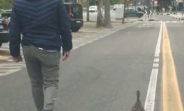 Mamma anatra e anatroccolo scortati dai vigili urbani fino al Po