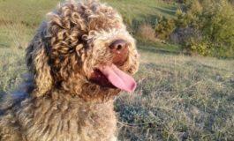Insegue un leprotto e si perde: cane lagotto ritrovato in buone condizioni da una pattuglia della Polstrada di Tortona