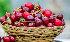 Niente riscaldamento globale con un maggio che sembra ottobre e la ciliegia precoce di Rivarone che è in ritardo