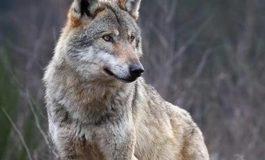Per i Verdi astigiani il lupo è un prezioso alleato per il contenimento dei cinghiali